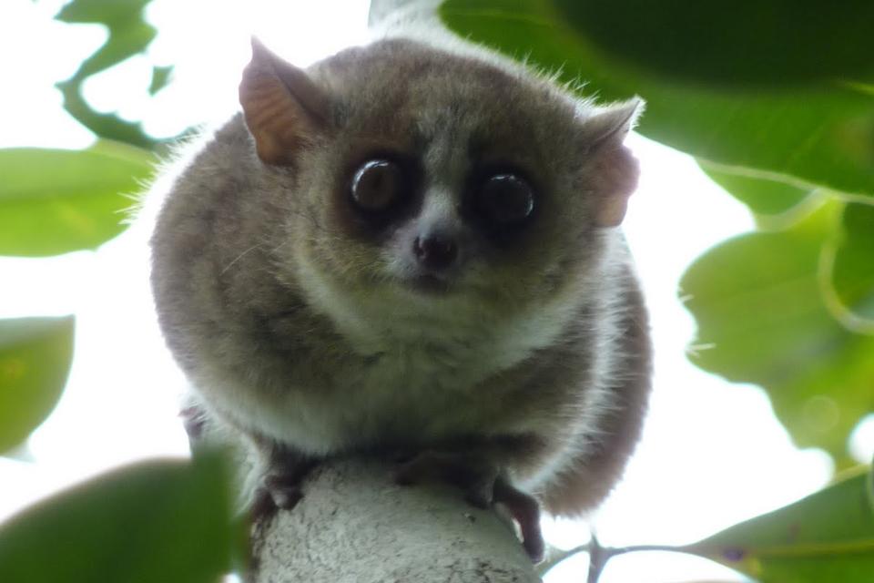 Алфавитный определитель животных ...: tambov-zoo.ru/alfaident/alfa/K/Karlikovyi-myshinyi-lemur