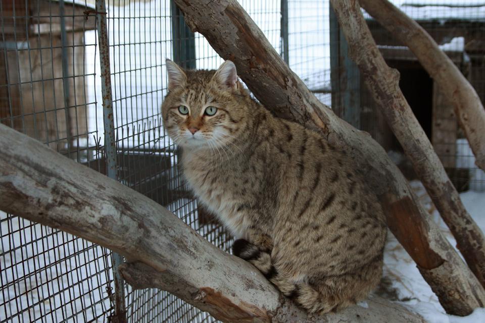 Лесной кот