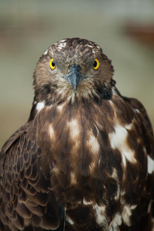 осоед фото птица