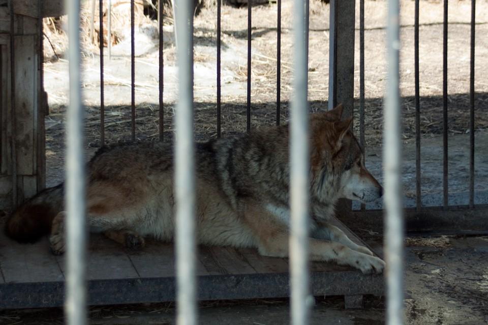 знакомства волчат